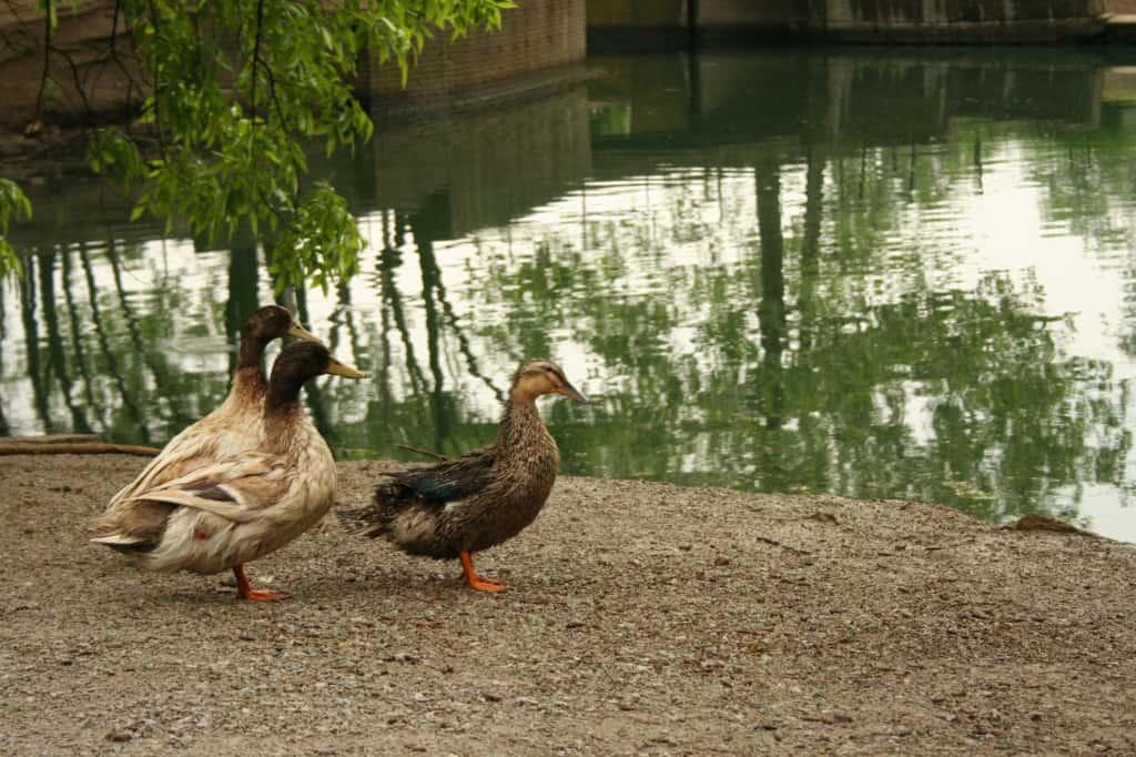 ducks-at-park